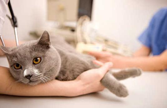 Obat Flu Kucing Paling Ampuh