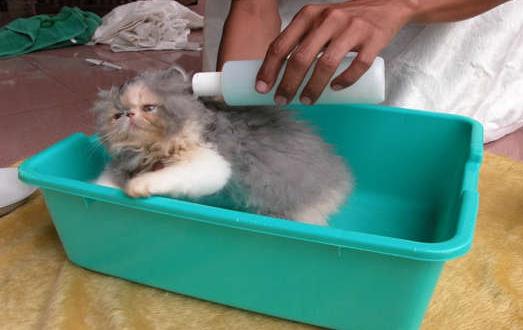 Rekomendasi Shampo Kucing