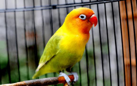 Cara Memilih Anakan Lovebird yang Bersuara Panjang