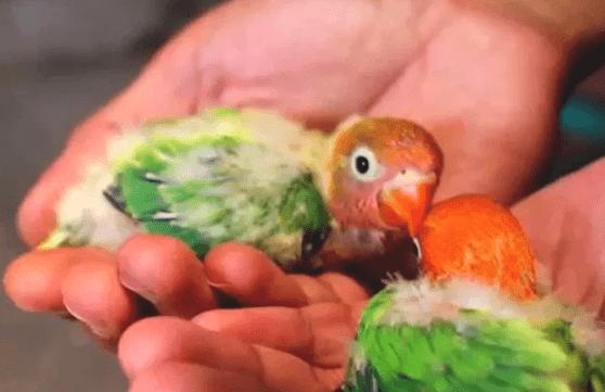 Cara Merawat Lovebird Anakan Agar Cepat Ngekek