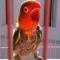 Cara Merawat Lovebird Mabung Agar Cepat Tuntas
