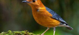 Suara Burung Anis Merah