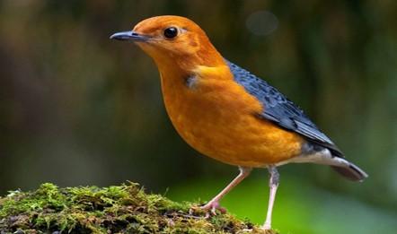 Download Suara Burung Anis Merah Teler Mp3 Lengkap