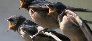 Suara Burung Walet Panggil