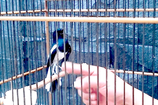 Cara Menjinakan Burung Kacer