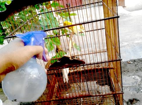 Perawatan Standar Burung Kenari