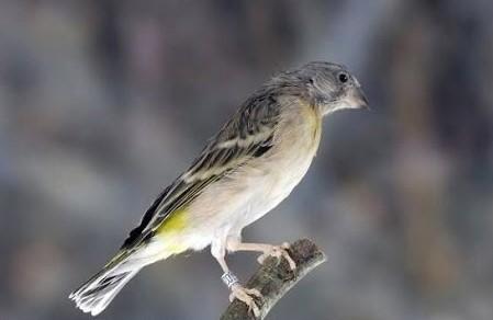Download Suara Burung Blackthroat