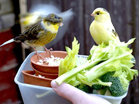 Sayuran buat kenari biar gacor