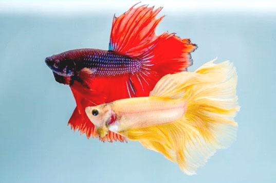 Harga Ikan Cupang Hias