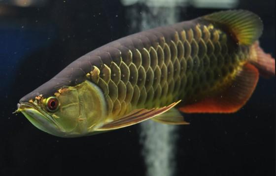 Ikan Arwana Cross Back Golden