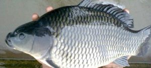 Resep Umpan Ikan Mas Juara