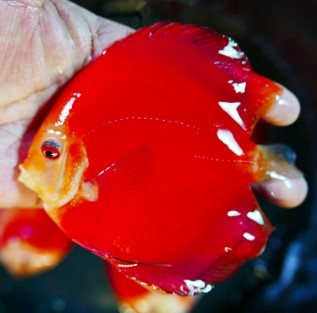 Ikan Discus Super Red Melon