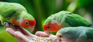 Pakan Lovebird Biar Gacor