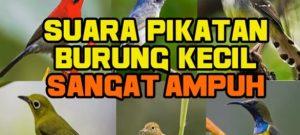 Download Suara Pikat Burung Kecil