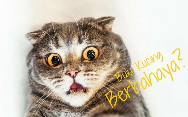 Bahaya Bulu Kucing Bagi Manusia