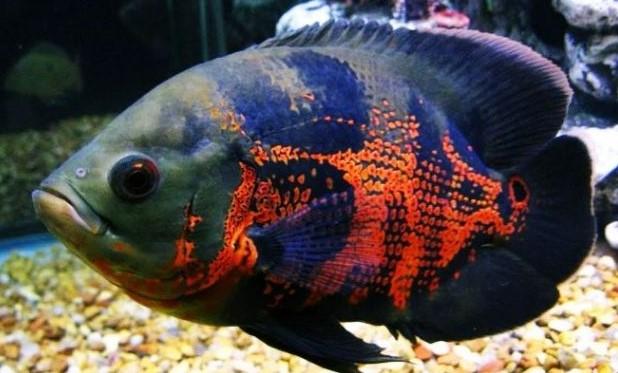 Ikan Oskar