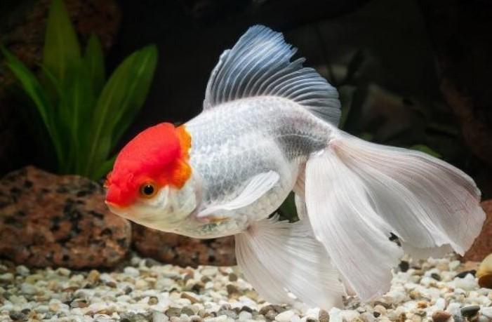 Ikan hias air tawar Mas Koki