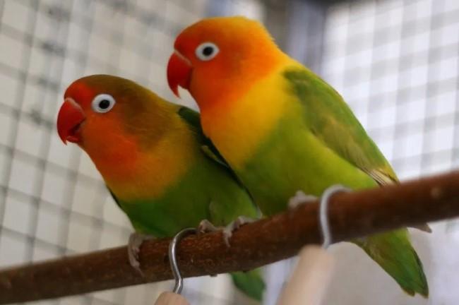 Cara Membedakan Lovebird Jantan dan Betina