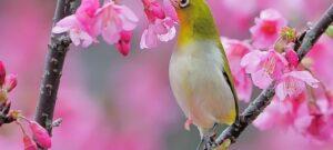 Cara Membuat Nektar Untuk Burung Pleci