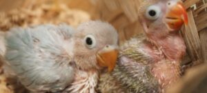 Cara Merawat Lovebird Anakan
