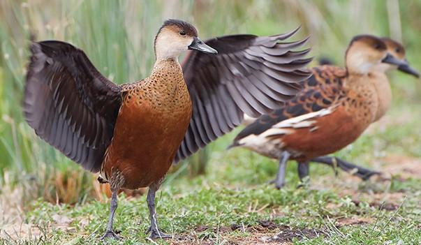 Download Suara Burung Belibis Mp3
