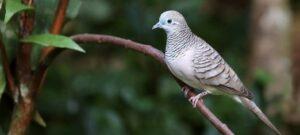 Download Suara Burung Perkutut Mp3