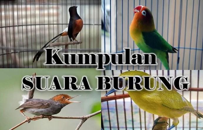 Kumpulan Suara Burung Mp3