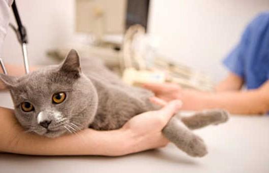 Merk Obat Flu untuk Kucing
