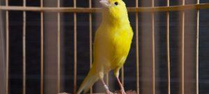Suara Burung Kenari