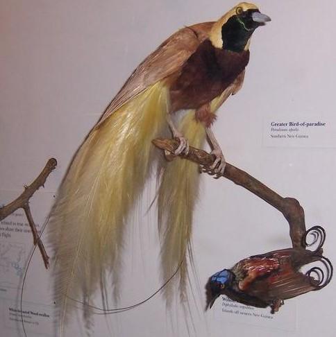 Cenderawasih kuning-besar