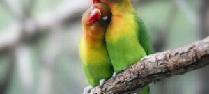 Suara Burung Lovebird