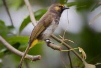 Suara Burung Cucak Wilis