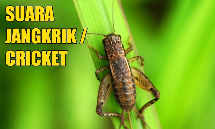 Download Suara Jangkrik Mp3