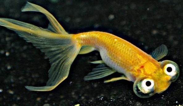 Ikan Koki Choten Gen