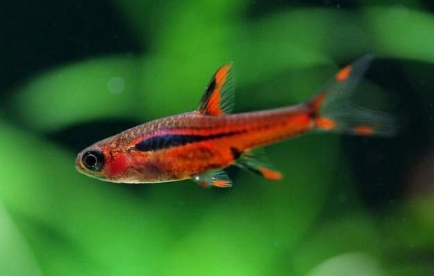 Ikan Chili Rasbora