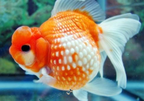 Ikan Mas Koki Mutiara