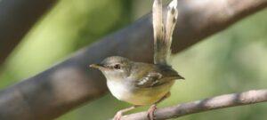 Download Suara Burung Ciblek