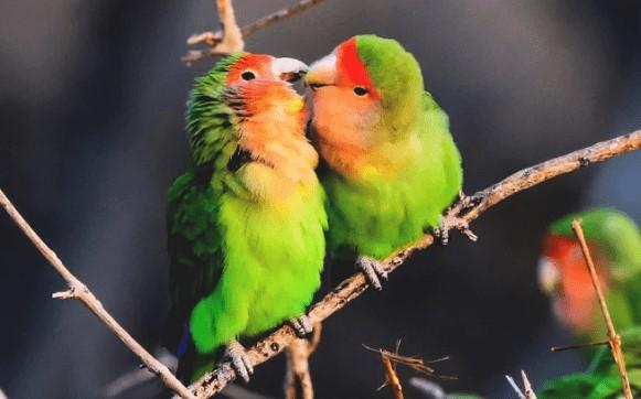 Cara Ternak Lovebird