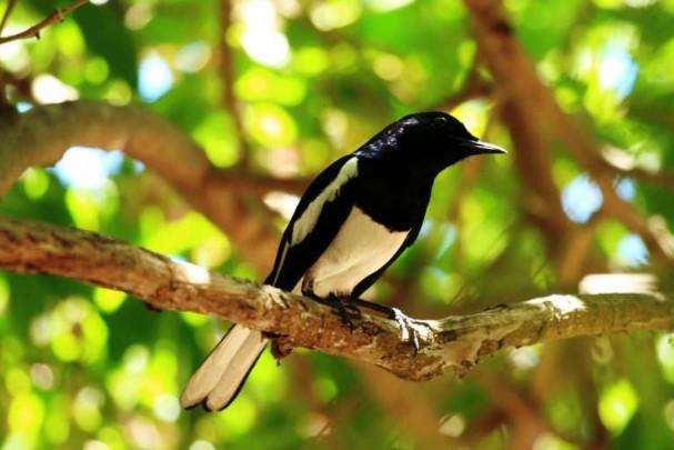 Suara Burung Kacer