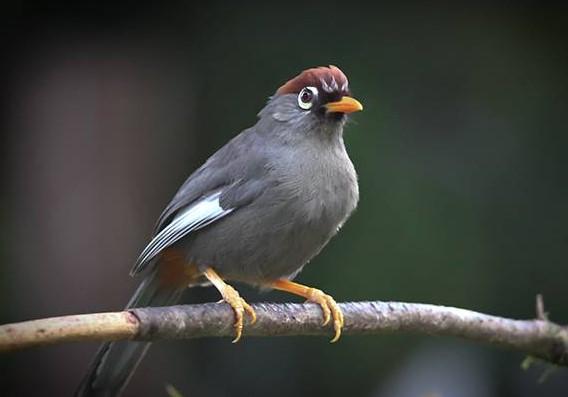 Download Suara Burung Poksay