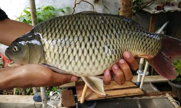 Resep Umpan Ikan Mas