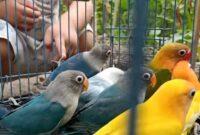 Cara Memilih Anakan Lovebird yagn Bagus