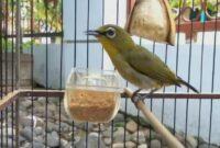 Download suara burung pleci untuk memancing