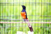 Download Suara Burung Murai Batu Mp3