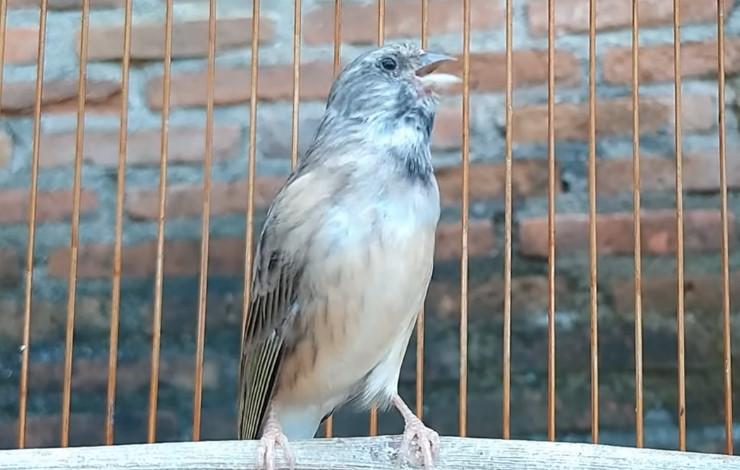 Download Suara Burung Blackthroat Mp3