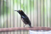 Download Suara Burung Kolibri Ninja Mp3