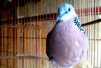 Download Suara Burung Tekuku Mp3