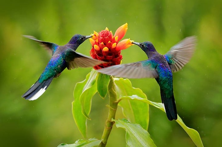 Makanan Burung Kolibri