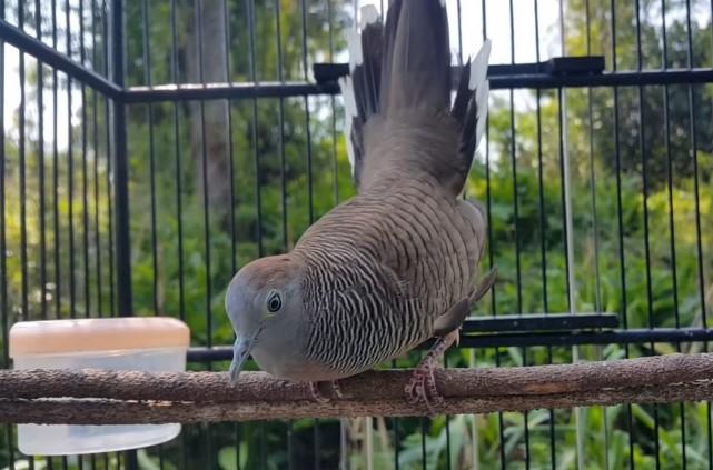 Download Suara Burung Perkutut Pancingan
