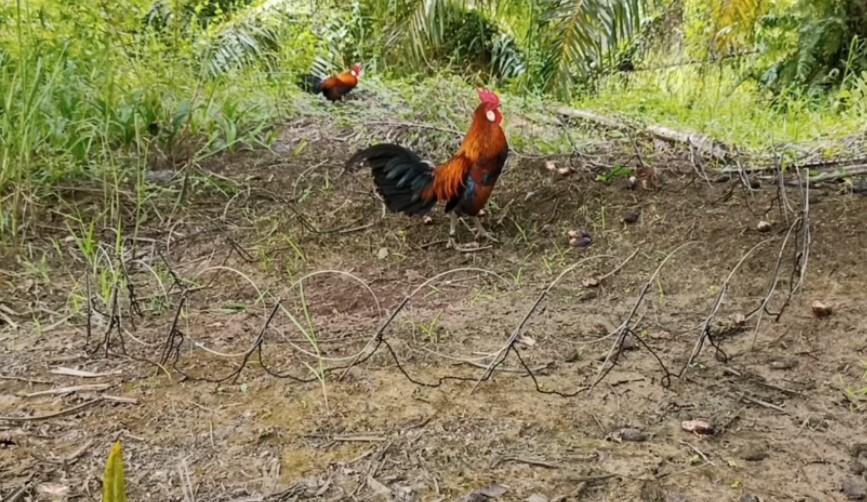 Download Suara Pikat Ayam Hutan Mp3